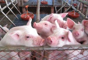 投资700万大型养猪场关门,损失谁买单?