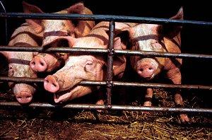 泰国拨款1.5亿铢应对非洲猪瘟