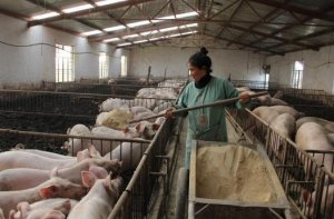 西南一样有禁养!云南125户养殖场被拆迁