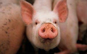 南非西北省检测出非洲猪瘟病毒