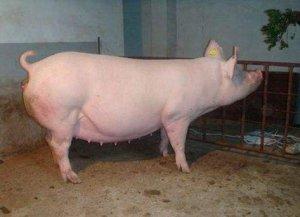 我们需要知道母猪二胎综合征的秘密所在?