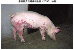 非洲猪瘟、猪瘟、猪蓝耳病、猪丹毒…傻傻分不清楚?