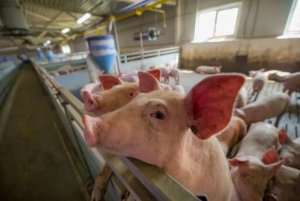 Virus Res|非洲猪瘟疫苗最新研究进展