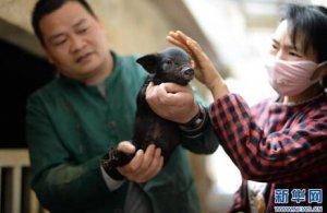 贵州玉屏:养猪能手吴