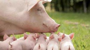 春季养猪的管理技术要点
