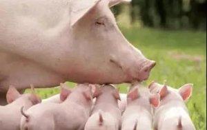 母猪产子少的根本原因!快看看怎么让母猪多产子!