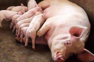【管理】猪的饲养管理中10个关键问题,必看!