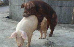 【技术】想要母猪每窝超产、多产仔,这3点您做到了吗??
