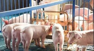【技术】猪副猪嗜血杆菌病如何防控?