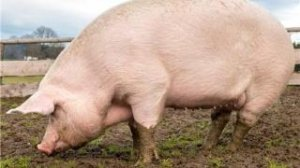 想让猪长得又快又好?这才是正确的打开方式