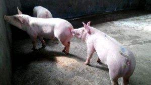 【管理】后备母猪不发情的这几点原因你知道吗?