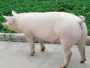 注意!种猪引种莫入误区
