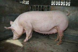 【管理】配怀舍不发情母猪原因分析及建议