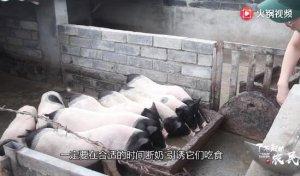 仔猪啥时候断奶合适?很多猪农操之过急,想顺利断奶还要看这几点