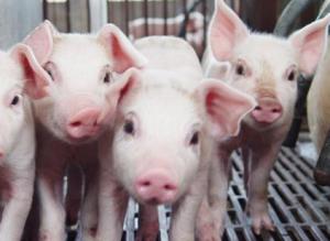 【管理】保育猪饲养过程中常见的问题有哪些?内附解决办法