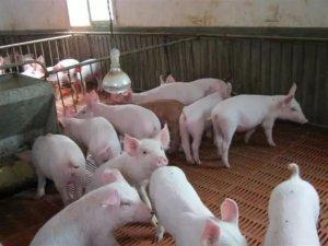 如何挑选高品质的仔猪?仔猪的挑选方法