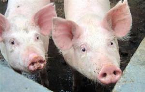 【管理】保育仔猪蓝耳病的防治措施,如何合理的接种疫苗?
