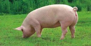 注意!9类母猪妊娠期禁用药物,千万不能碰