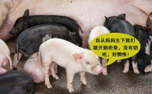 """【管理】母猪产后""""没胃口、食欲差""""怎么办?"""