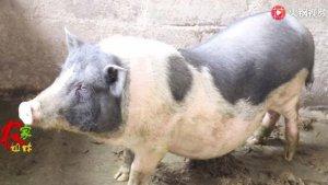 农村创业大哥的辛酸路,从山上捉野猪回去繁衍,手被猪咬穿过