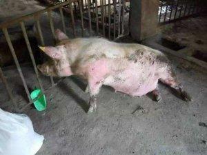 母猪产后站不起来的原因与解决方案