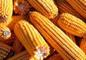 非洲猪瘟对玉米需求影响或小于预期,供需缺口恐将加大价格将上涨