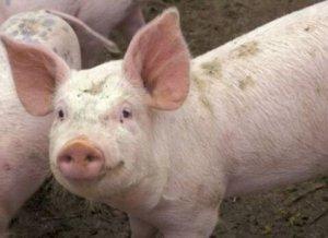香港销毁6000只生猪!尽快恢复猪肉供应