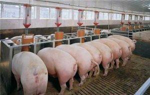 樊福好:消灭非洲猪瘟最终还得靠猪,复养最重要的是要做好这两点……