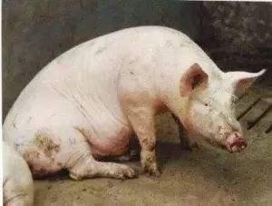 兽药知识 | 治疗猪呼吸道病的兽药应用方案