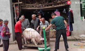 四川农村大哥卖肥猪,2头猪卖了3000元,这个毛猪价卖亏了?
