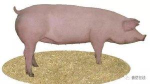 非瘟形势下:如何从育肥猪中选后备?