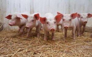 乳猪诱饲时要注意什么?