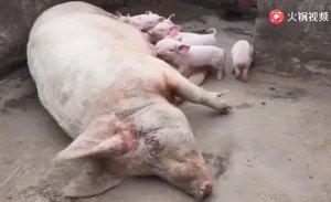 取消3247吨进口订单,国家也多次提猪肉价格,下半年猪价要涨