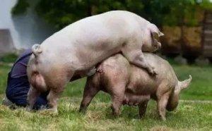 影响分娩率的因素个人猪场工作总结