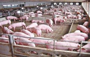 养猪场要怎么除臭?