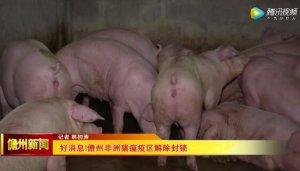 好消息!儋州非洲猪瘟疫区解除封锁