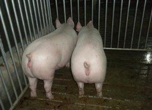 现在的母猪都是宝,子宫内膜炎的成因及其防治