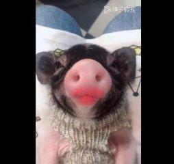 你见过养宠物猪的吗?这里有个精致的猪猪女孩!