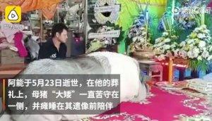 泰国200公斤母猪走红网络:苦守灵堂,陪伴主人遗像