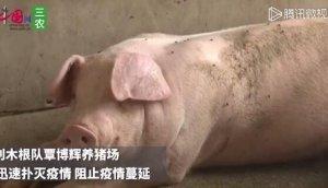 广西博白县发生非洲猪瘟疫情,当地政府发布封锁疫区命令
