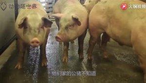 为了让公猪重振雄风,主人放进100只母猪,结果让人意外!
