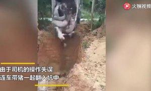 装卸车和非洲瘟猪掉进5米深坑,场面一度混乱