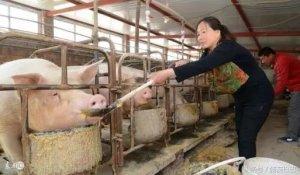 猪肉越来越难吃?这不怨猪 是你没有遇到深山放养猪!