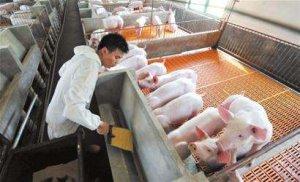 非瘟背景下猪场无害化处理制度
