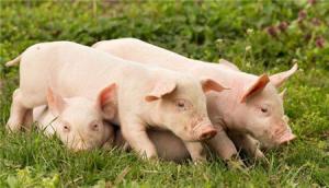 猪场都是怎么中招的?3个月过后就可以复养吗?