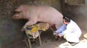 人工授精注意这几点,母猪产仔数可以突破13头!