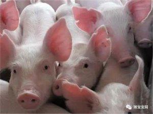 猪皮肤发红的原因是什么?不止是发烧!