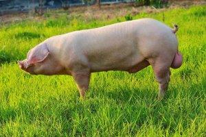 母猪假发情、假怀孕怎么办?要如何解决?