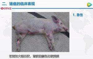 猪瘟的诊断与防控