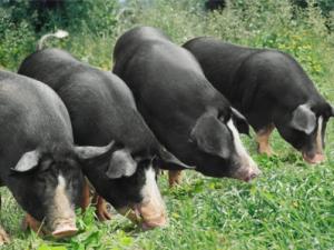 养殖土黑猪走上致富路